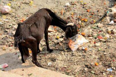 Varanasi Goat