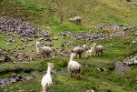 Drive to Ollantaytambo Llamas