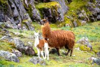 Lares Trek Day 2 Llamas