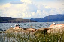 Titicaca Lake Birds