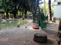 Algiers Le Jardin d'Essai du Hamma Peacock