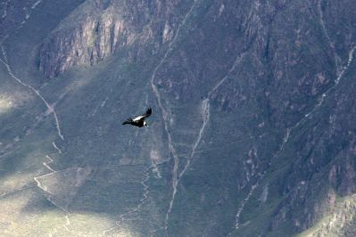 Andean Condor spotted!