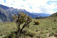 Colca Canyon Cactus