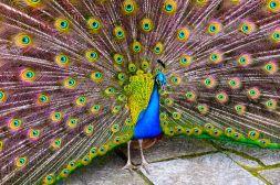 Lisbon Castelo de St Jorge Peacock Feathers