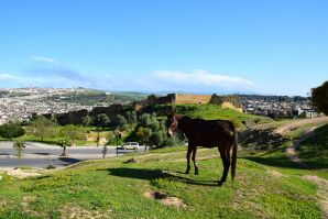 Merenid Tombs Horse