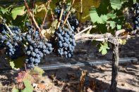 Mendoza Clos de Chacras Grapes