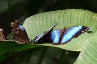 Guembe Biocenter Butterfly Blue