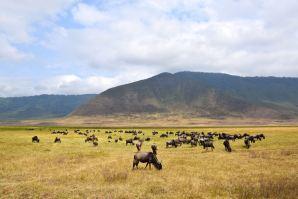 Ngorongoro Crater Grazing Wildebeest