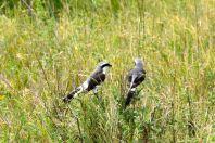 Serengeti Black and White birds