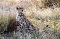Serengeti Cheetah