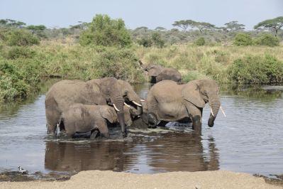 Serengeti Elephants in Water