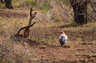 Serengeti Falcon