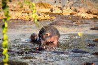 Serengeti Hippo and Baby