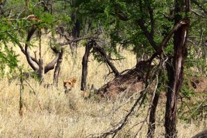 Serengeti Lion in Bush