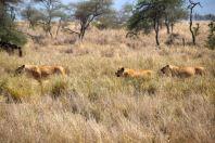 Hunting a warthog