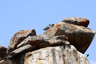 Serengeti Rock Hyraxes