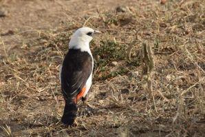 Serengeti White Black and Orange Bird