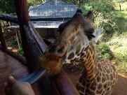 Giraffe Center Tongue