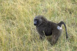 Maasai Mara Baboon