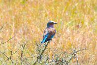 Maasai Mara Bird