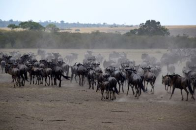 Maasai Mara Great Migration Wildebeest Stampede