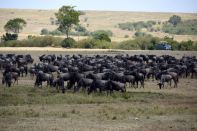 Maasai Mara Great Migration Wildebeest Waiting