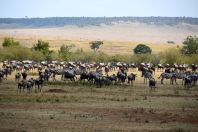 Maasai Mara Great Migration Wildebeest and Zebras Waiting