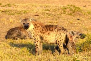Maasai Mara Hyenas