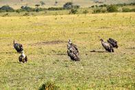 Maasai Mara Vultures