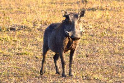 Maasai Mara Warthog
