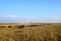 Maasai Mara Wildebeest