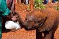 Nairobi The David Sheldrick Wildlife Trust Feeding