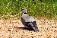 Self Drive Pigeon