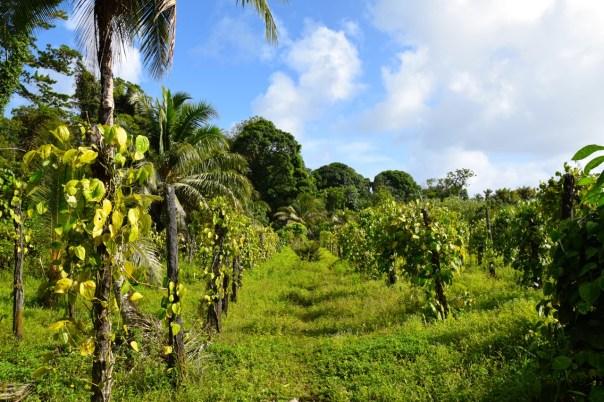 micronesia-botanical-garden-pepper