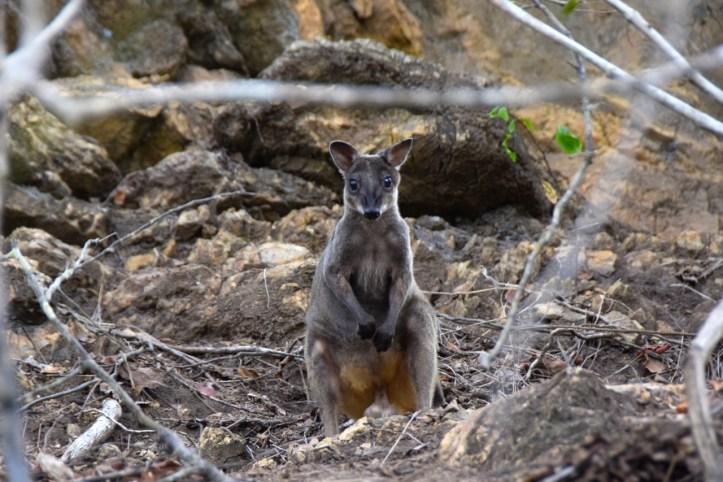 loloata-resort-wallaby
