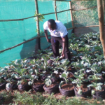 World Faith Kampala staff harvesting the first vegetable from the shade garden.