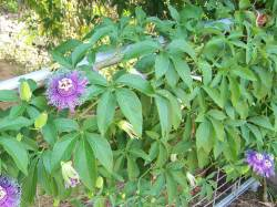 Small Of Purple Passion Plant