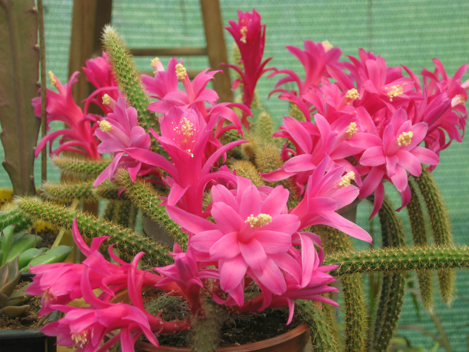 Smothery General Rat Tail Cactus How To Grow Sale Care A Rat Tail Cactus Rat Tail Cactus Plant Rat Tail Cactus houzz 01 Rat Tail Cactus