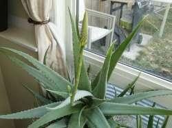 Small Of Aloe Vera Flower
