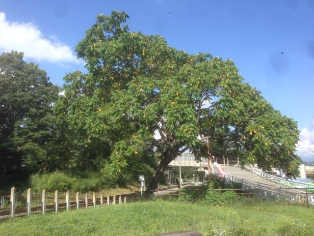 甲斐大泉駅前の胡桃の木