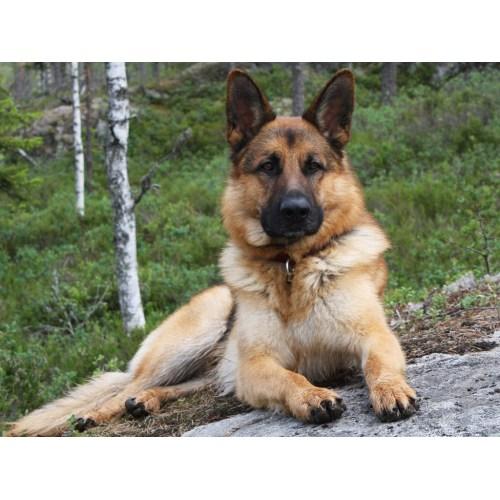 Medium Crop Of Most Loyal Dog Breeds