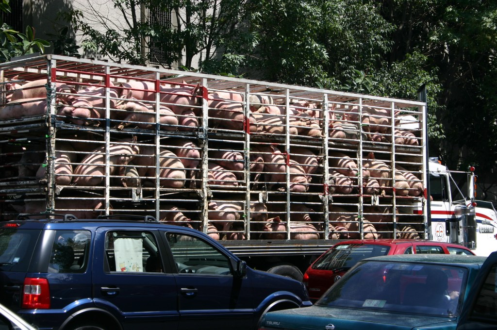 Pigs and Cars, Mexico City
