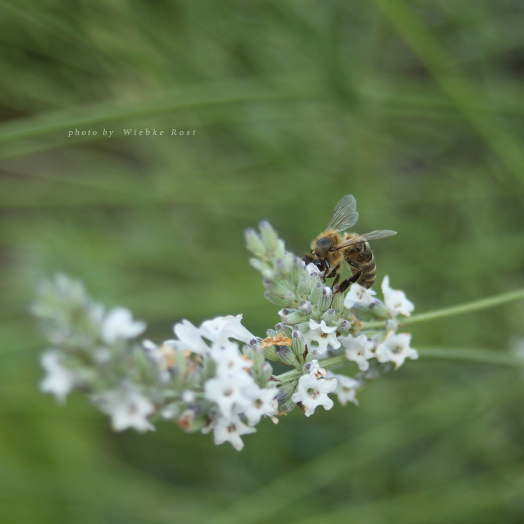 Bee on White Lavender, July 2016