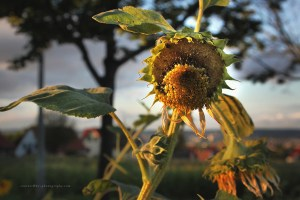 Sunflowers, August 10 2016
