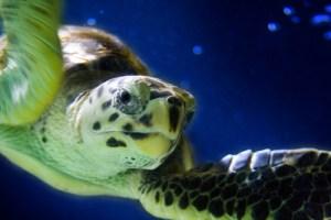 photo credit: Sea Turtle via photopin (license)