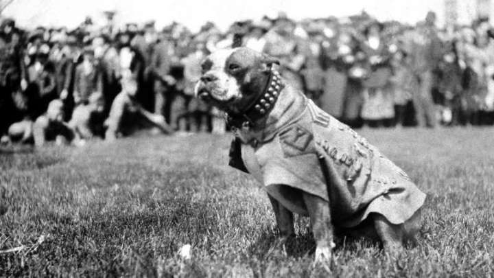 Sergeant Stubby dog WWI CREDIT Connecticut State Library