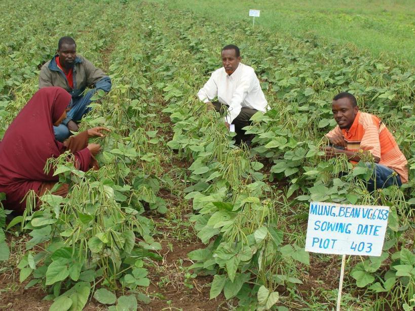 Mungbean-planting1