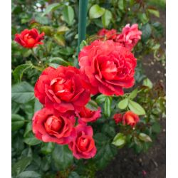 Small Crop Of Chrysler Imperial Rose