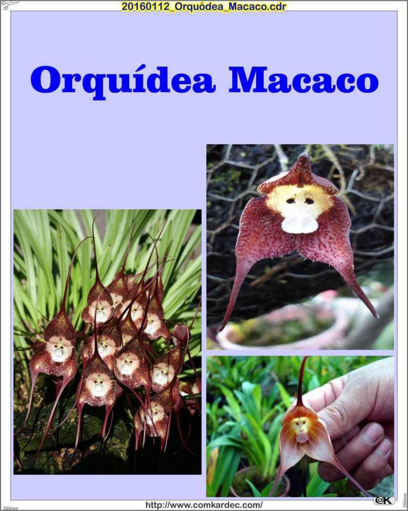 20160112_Orquódea_Macaco