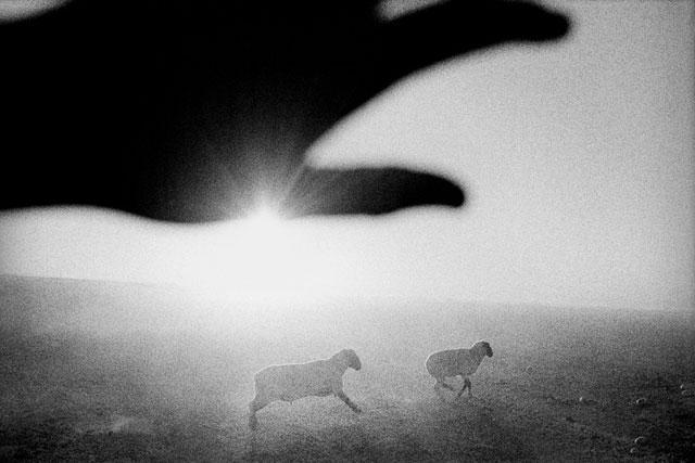 Matt Black, Sheep at dawn. Firebaugh, California.